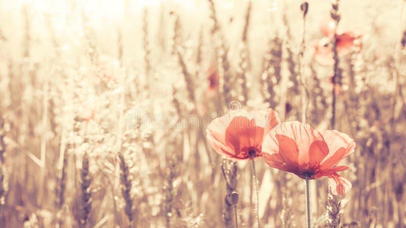 Retro stonowany maczek kwitnie przy wschodem słońca fotografia stock