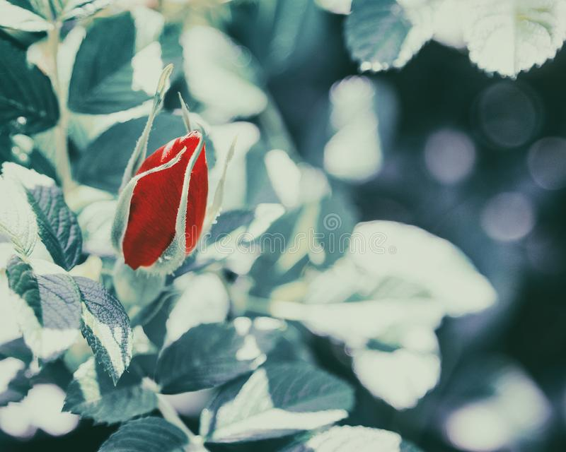 Retro style artistic background with red rose flower bud royalty free stock photography