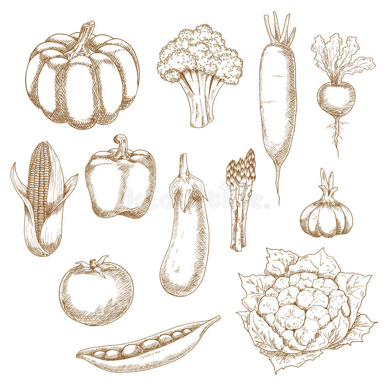 Retro stylized sketches of ripe vegetables. Healthful vegetables sketches with corn, bell pepper and tomato, eggplant and pea pod, broccoli and pumpkin, garlic vector illustration