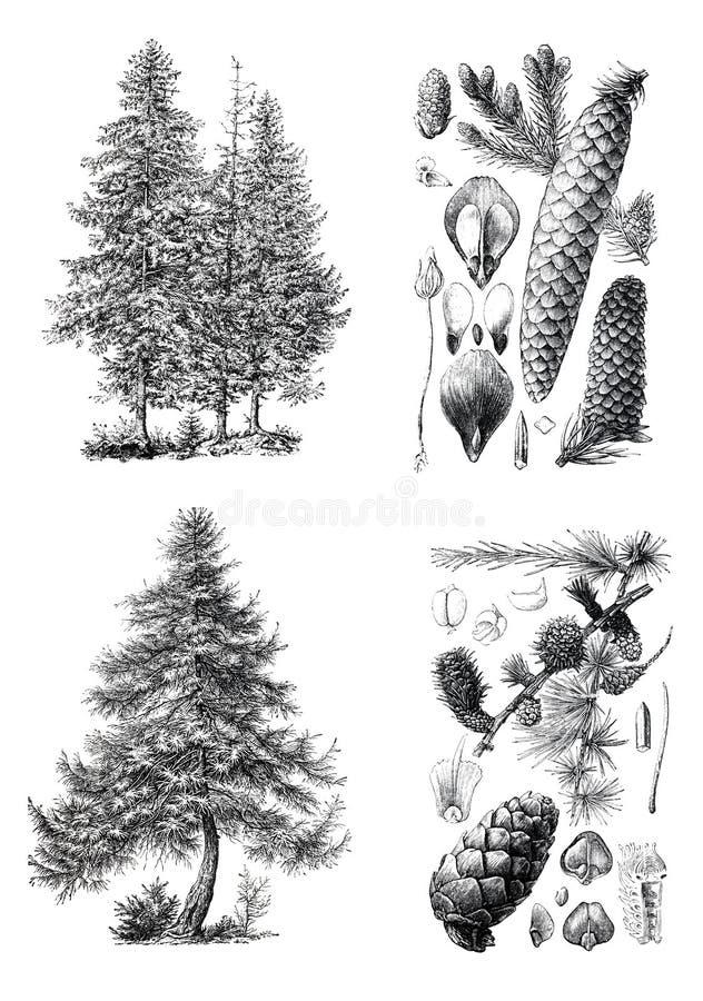 Retro tappningkonturer av ett europeiskt sörjer träd royaltyfri foto