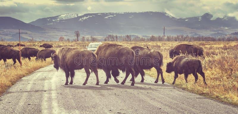 Retro tonad flock av väg för amerikansk bison korsningen på soluppgång arkivbild
