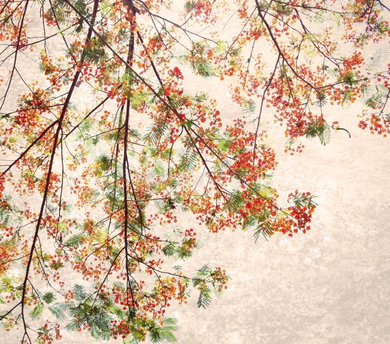 Retro tono rosso di colore del fiore Flam-boyant con il fondo leggero di lerciume immagine stock libera da diritti