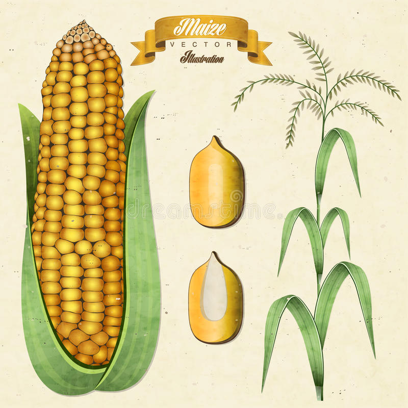 Retro vintage maize illustration. vector illustration