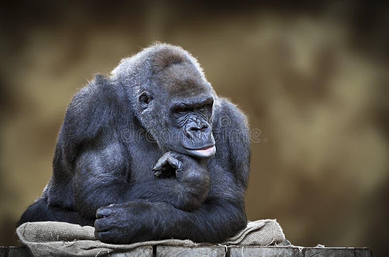 Gorila masculino del silverback fotos de archivo