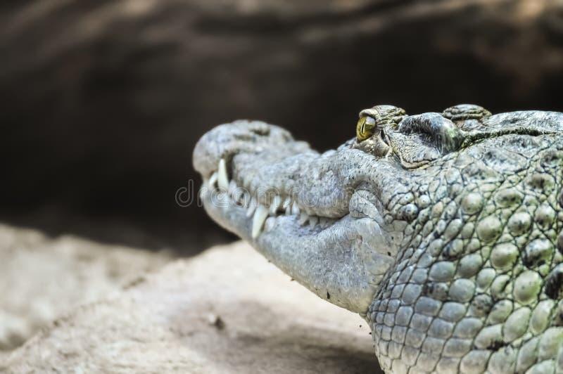 Retrovisione del coccodrillo che prende il sole su una roccia immagini stock