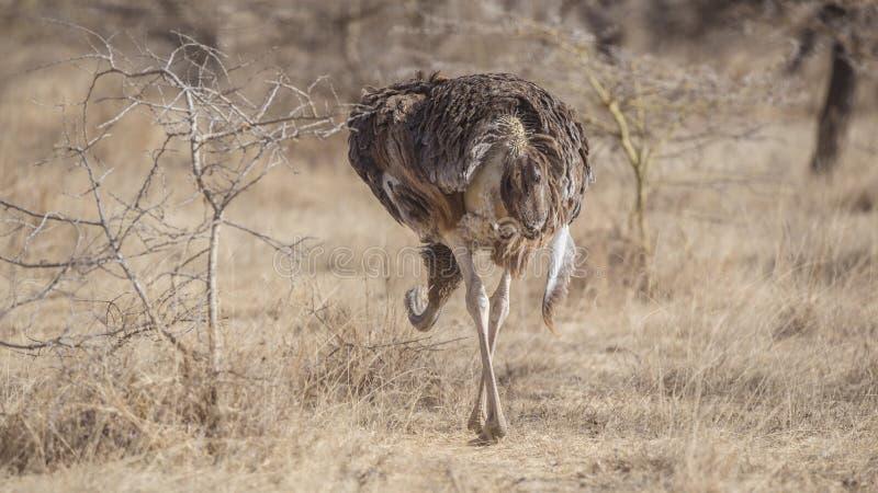 Retrovisione dello struzzo somalo immagini stock