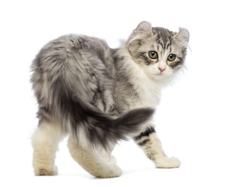 Retrovisione di un gattino americano del ricciolo, vecchio 3 settimane, esaminante Th fotografia stock libera da diritti