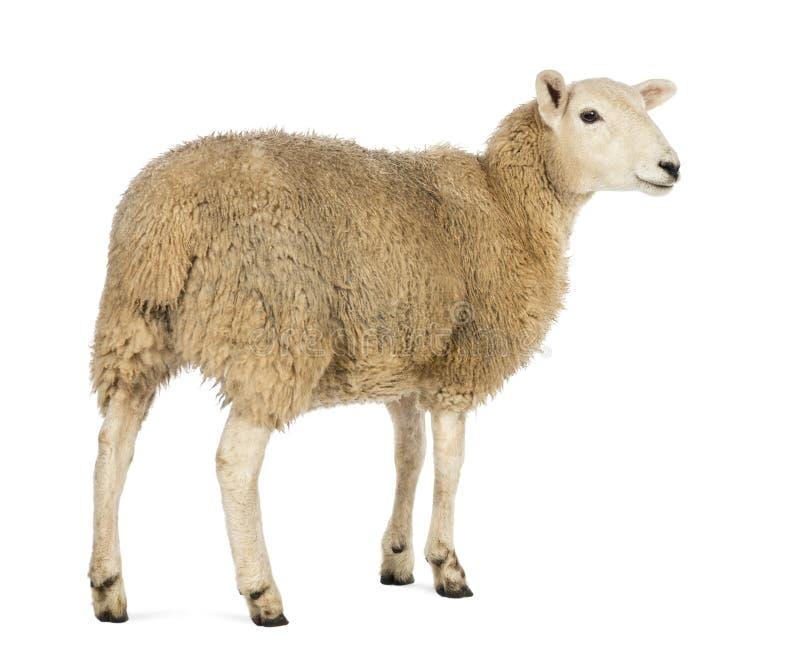 Retrovisione di una pecora che distoglie lo sguardo contro il fondo bianco fotografia stock libera da diritti