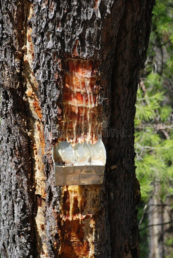 Retsina resin, Greece. Collecting resin from a pine tree at Agii Anargiroi on the Greek island of Alonissos. Pine resin is a key flavouring in Greek wine type royalty free stock image
