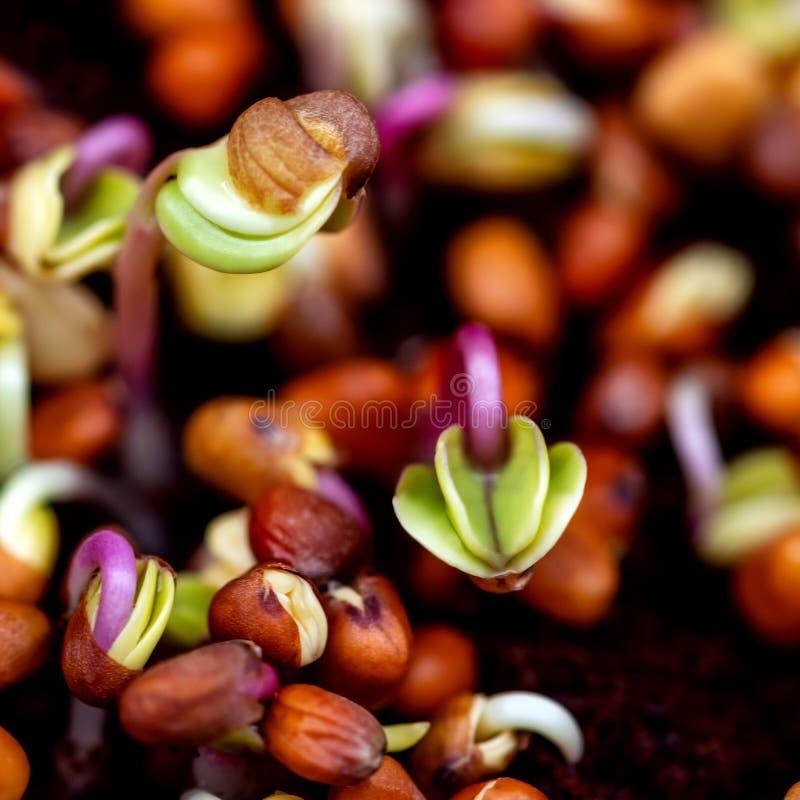 Rettichsämlinge oder Sprösslinge, Konzept frisch, gesunde Mikrogrüns stockfotos