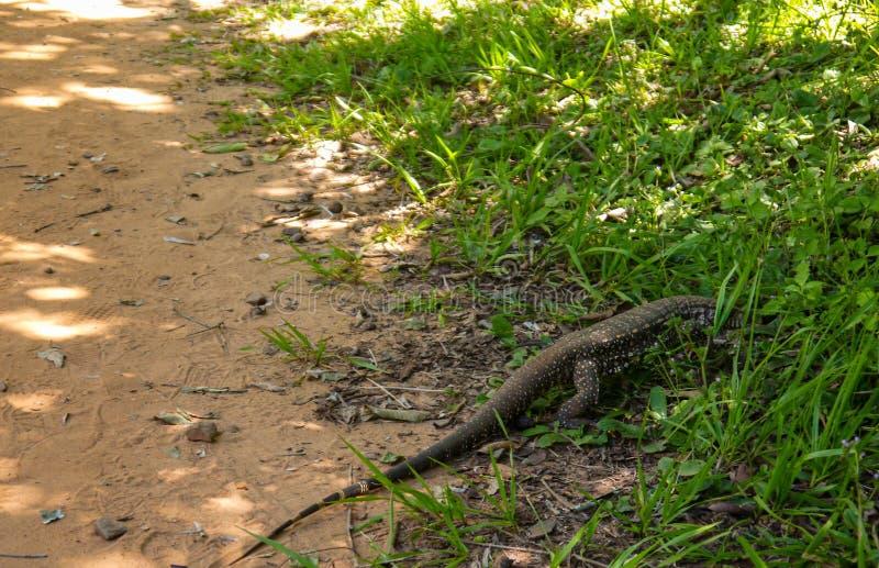 Rettile del monitor della lucertola gigante che cammina nella giungla fotografie stock