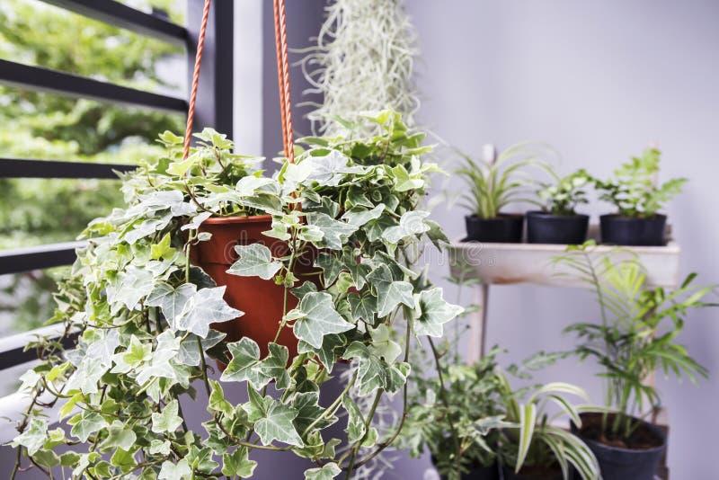 Returnera och arbeta i trädgården begreppet av den engelska murgrönaväxten i kruka arkivfoto