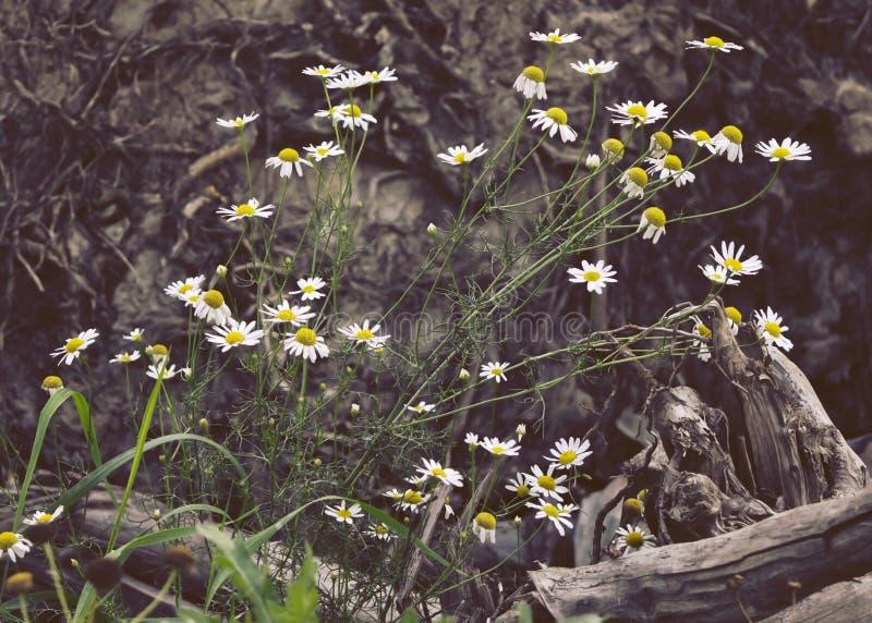 Reukloze vals mayweed tribune voor boomwortel royalty-vrije stock foto's