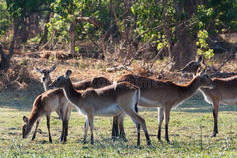 Reuna o lechwe do sul em Okavango, Botswana, África fotografia de stock royalty free