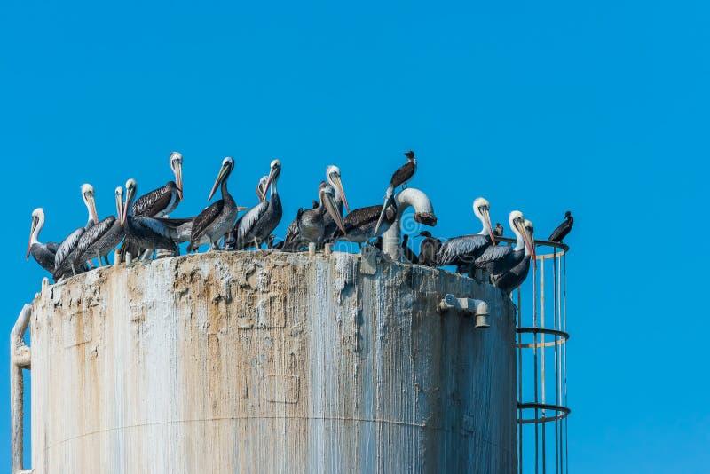 Reuna pelicanos no Peru peruano de Piura da costa da plataforma petrolífera fotos de stock royalty free