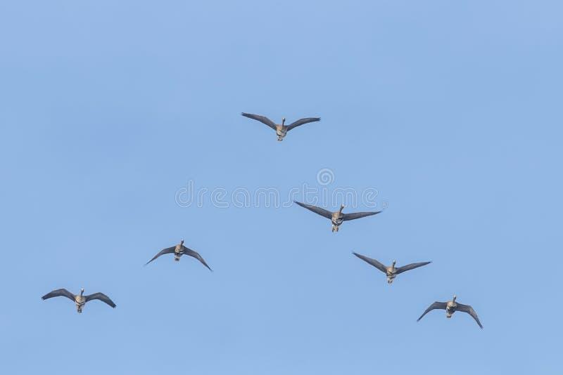 Reuna-se do maior voo fronteado branco dos gansos na formação de V, céu azul fotos de stock
