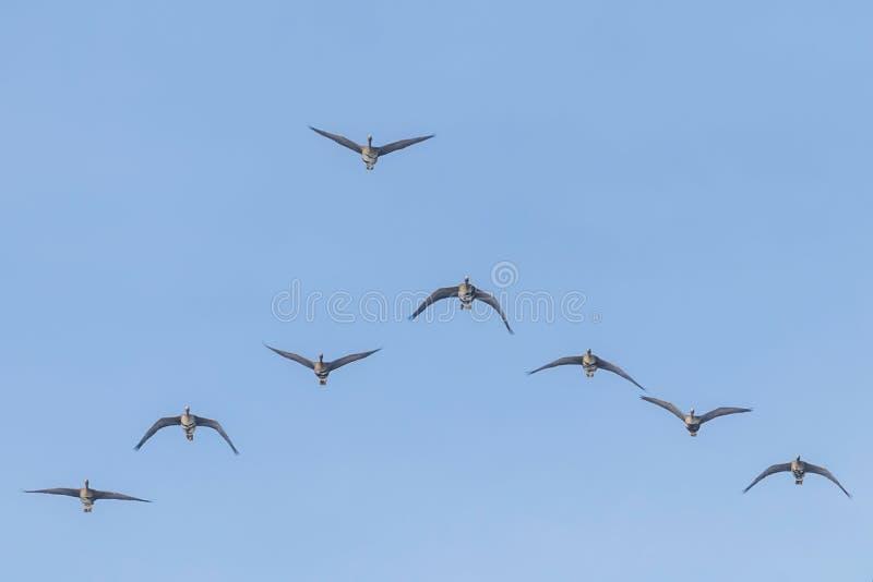 Reuna-se do maior voo fronteado branco dos gansos na forma??o de V, c?u azul imagem de stock royalty free