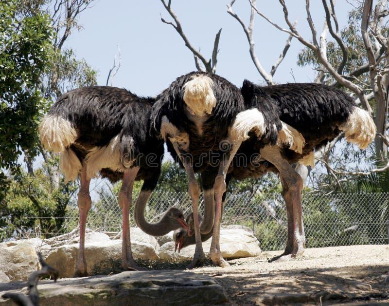 Reunião da avestruz imagens de stock royalty free
