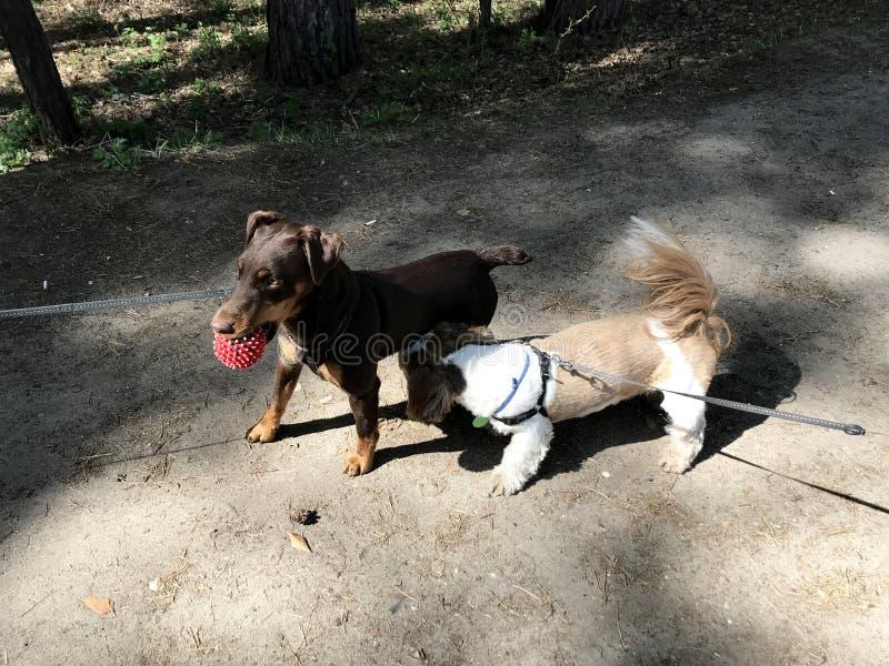 A reunião de dois cães domésticos pequenos em trelas Persiga a caminhada fotografia de stock royalty free