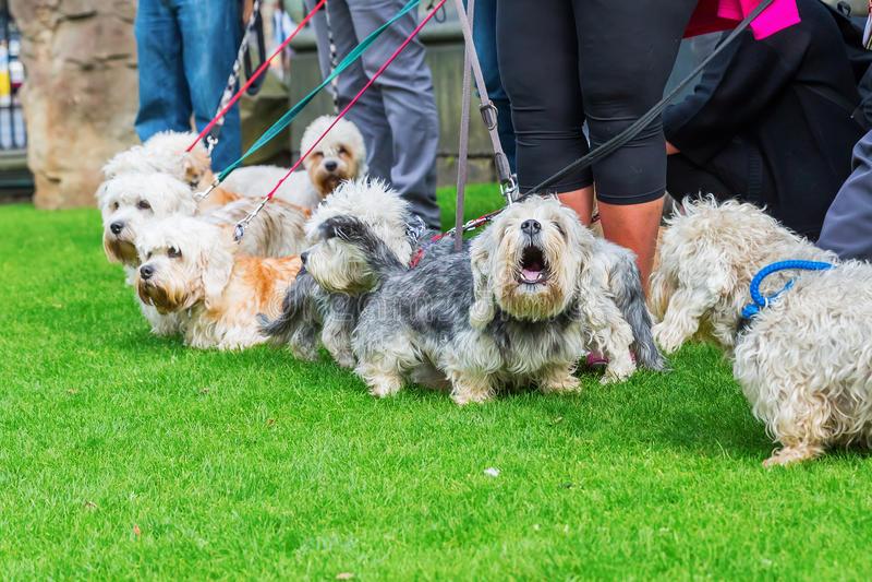 Reunião do proprietário do Dandie Dinmont Terrier imagem de stock royalty free
