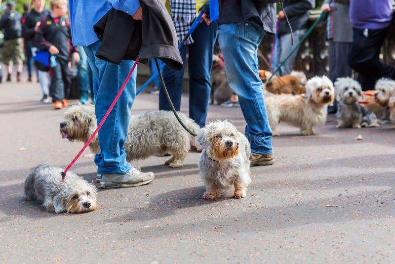 Reunião do proprietário do Dandie Dinmont Terrier foto de stock royalty free