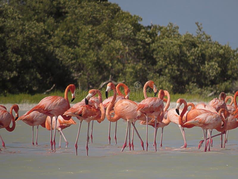 Reunião dos flamingos no rio imagem de stock royalty free