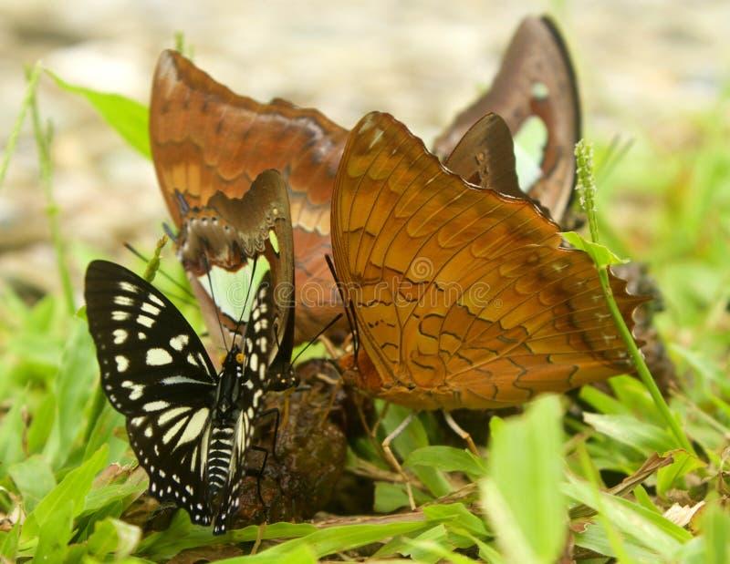 Reunión de la mariposa imagenes de archivo