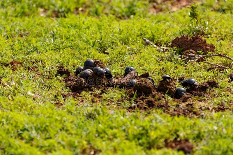 Reunión de los escarabajos de estiércol en estiércol foto de archivo libre de regalías