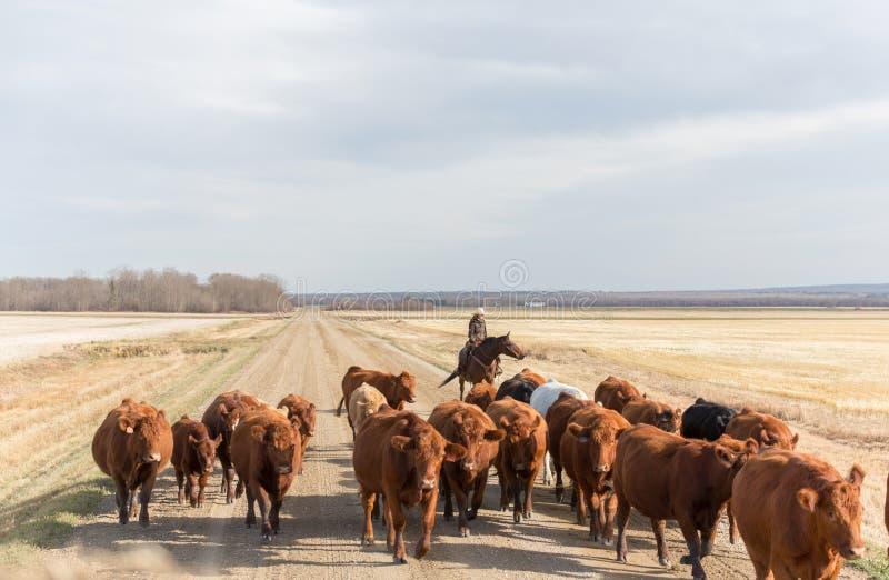 Reuniendo el ganado traga un camino de tierra imagenes de archivo