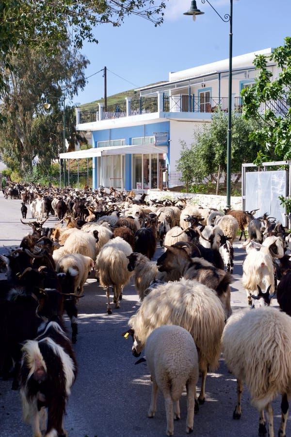 Reunindo carneiros e cabras na ilha de Leros, Grécia, Europa imagens de stock