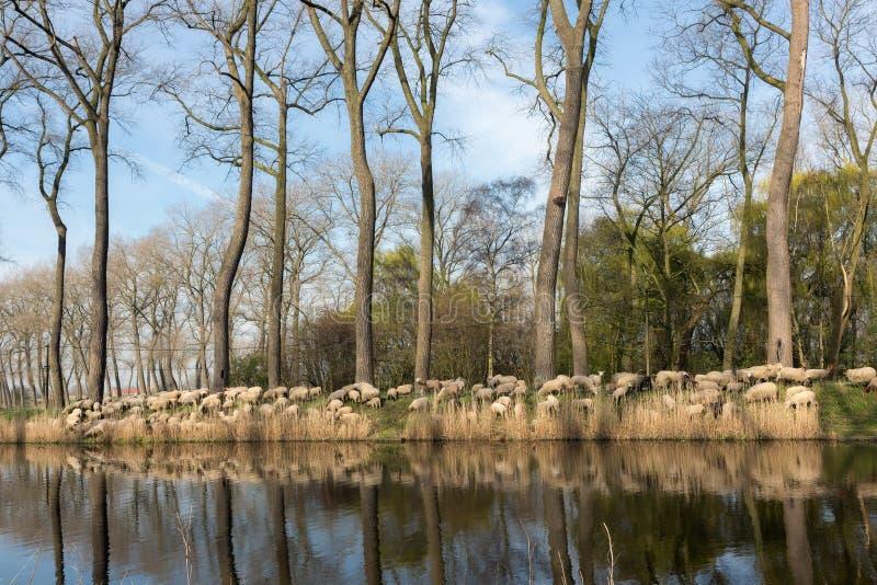 Reunindo carneiros em Flanders imagens de stock