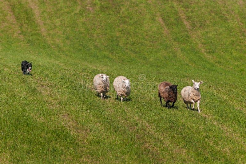 Reunindo o cão atrás da linha de aries do Ovis dos carneiros imagens de stock
