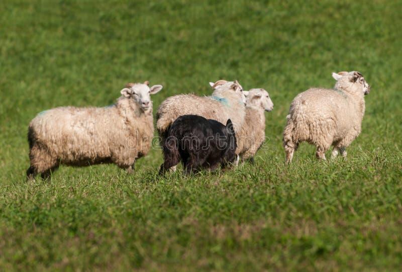 Reunindo o cão mova no aries do Ovis dos carneiros imagens de stock royalty free