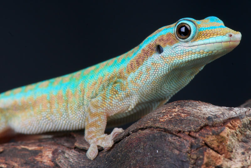 Reunion island day gecko. The Reunion Day Gecko / Phelsuma borbonica only lives on the Reunion Island, Indian Ocean royalty free stock image