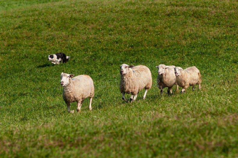 Reunir o cão corre no aries do Ovis de quatro carneiros foto de stock royalty free