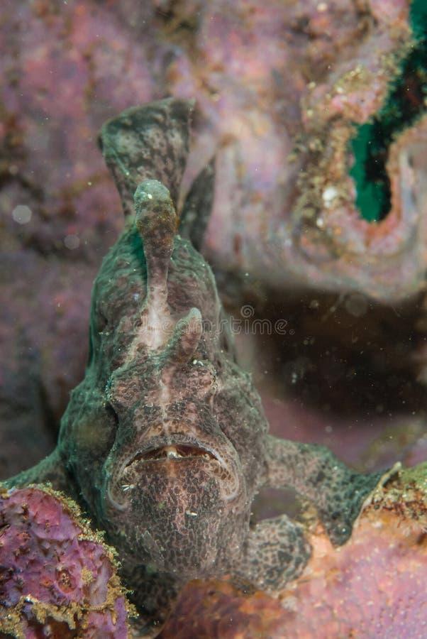 Reus frogfish in Ambon, Maluku, de onderwaterfoto van Indonesië stock afbeeldingen