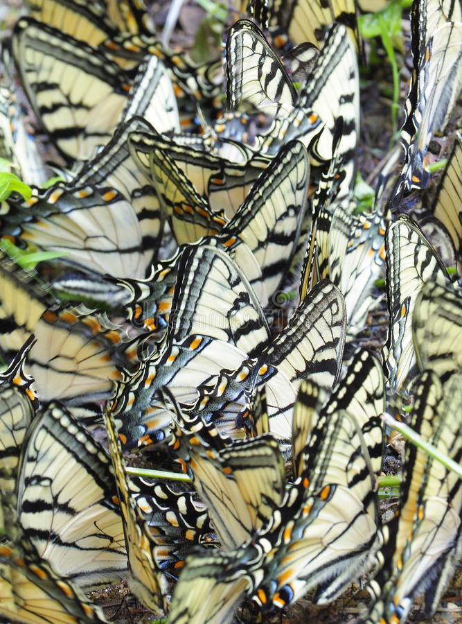 Reusachtig Aantal van Oostelijk Tiger Swallowtail Butterflies op een Minerale Lik in de Grote Smokie-Bergen stock foto