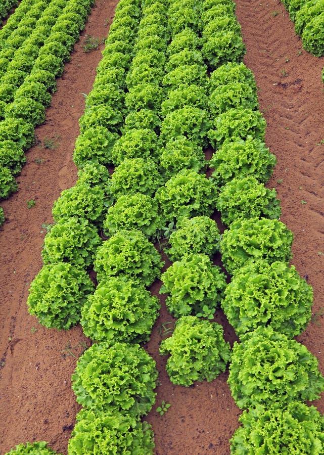 Reusachtig gebied van groene sla in de zomer stock foto