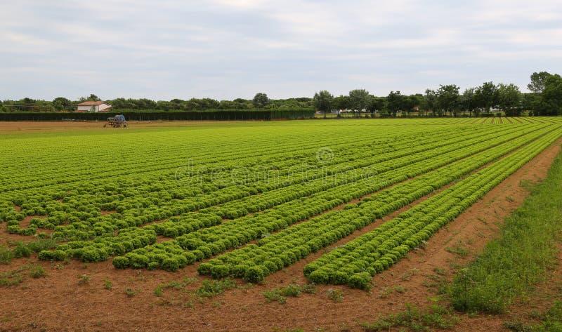 Reusachtig gebied van sla in de vlaktes in de zomer royalty-vrije stock afbeelding