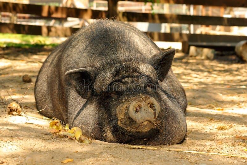 Reusachtig lui varken bij het landbouwbedrijf royalty-vrije stock afbeeldingen