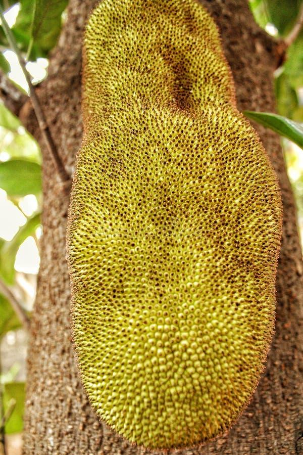 Reusachtig unriped jackfruit stock foto