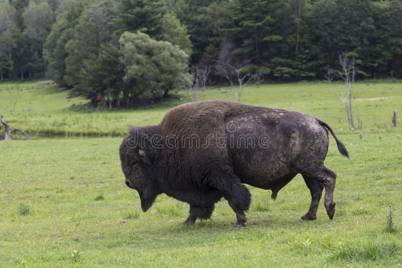 Reusachtige Amerikaanse die bizon in profiel wordt gezien die op gras lopen royalty-vrije stock foto's