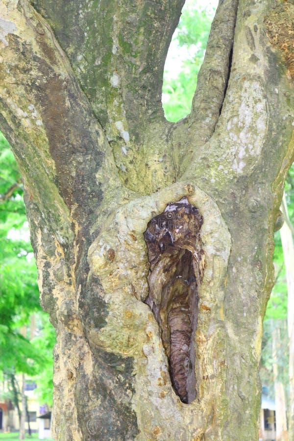 Reusachtige boomboomstammen in Hol grote boomwortels en zonnestraal in een groene forestSpring weidewortels van ??n grote boom me stock fotografie