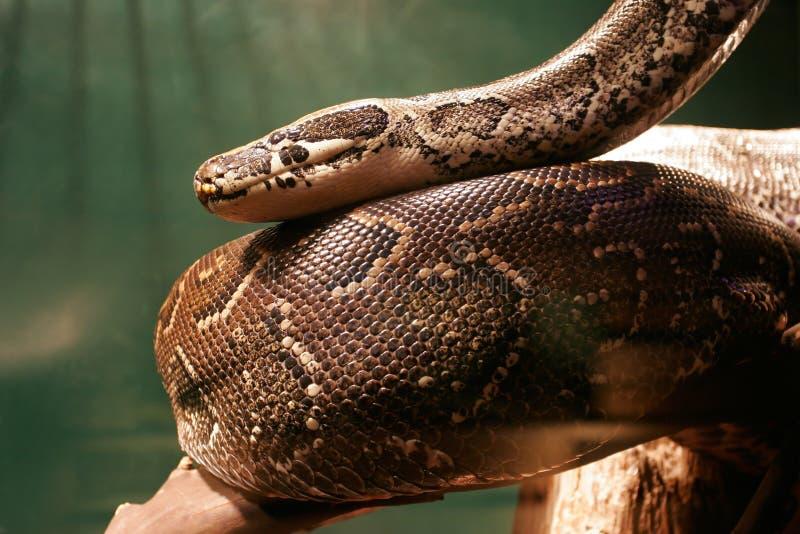 Reusachtige Constrictor van de Boa in wildernis royalty-vrije stock afbeeldingen