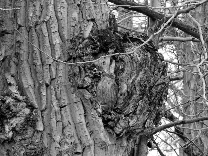 Reusachtige Cottonwood Burl royalty-vrije stock foto