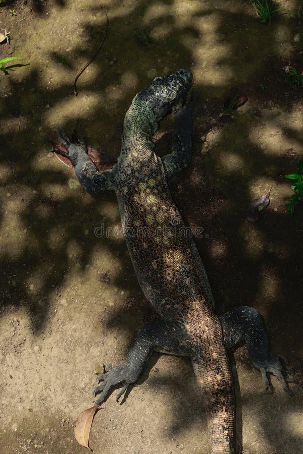 Reusachtige Komodo-draak die op het zand rusten en van de zon in de schaduw in Bali, Indonesië verbergen stock fotografie