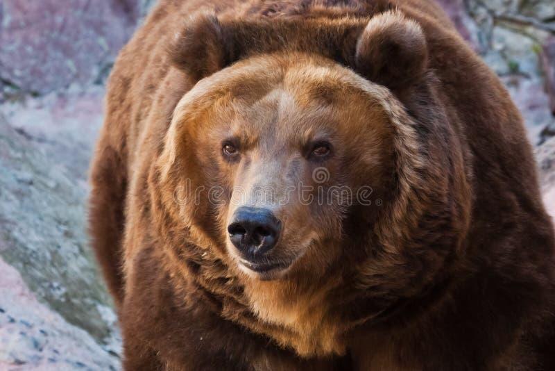 Reusachtige krachtige bruin draagt close-up, sterk dier op een steenachtergrond royalty-vrije stock afbeeldingen