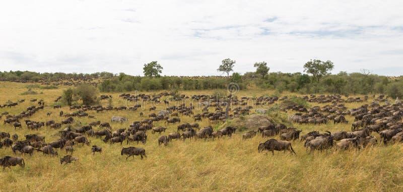 Download Reusachtige Kudden Van Ungulates Grote Migratie Van Kenia, Afrika Stock Foto - Afbeelding bestaande uit mara, kruiden: 114226250