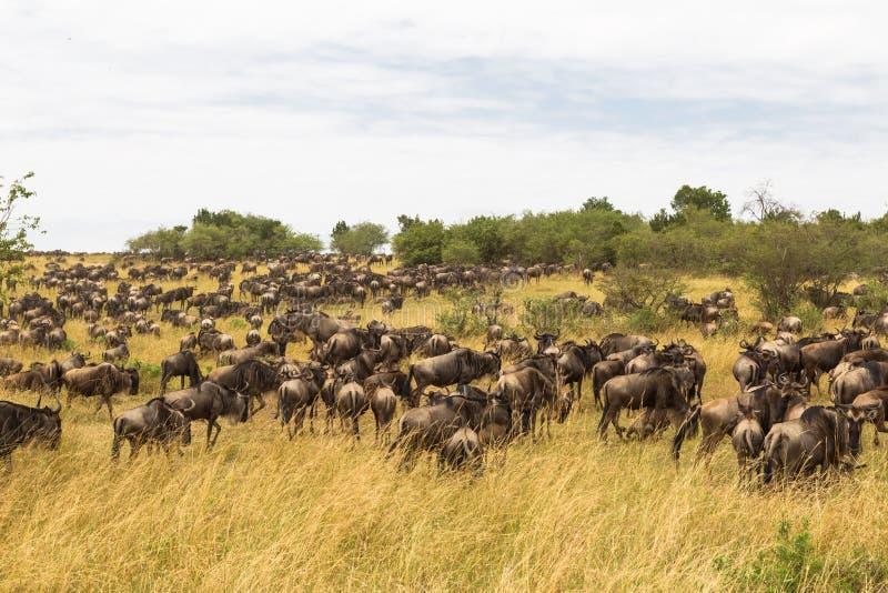 Download Reusachtige Kudden Van Ungulates Savanne Van Masai Mara Kenia, Afrika Stock Afbeelding - Afbeelding bestaande uit droogte, grazing: 114226289