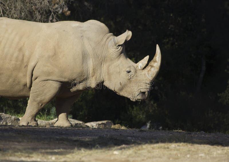 Reusachtige mannelijke rinoceros royalty-vrije stock afbeelding